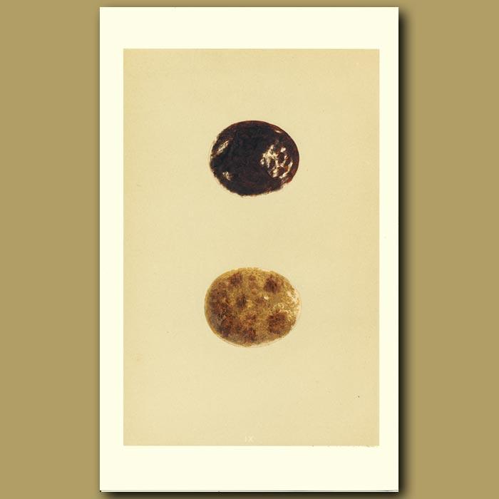 Antique print. Honey Buzzard Eggs