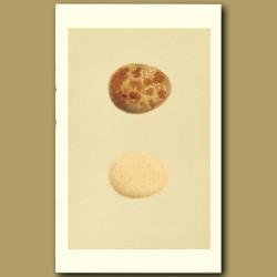 Jer-Falcon Eggs