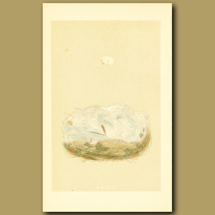 Antique print. Blue Tit Nest And Egg