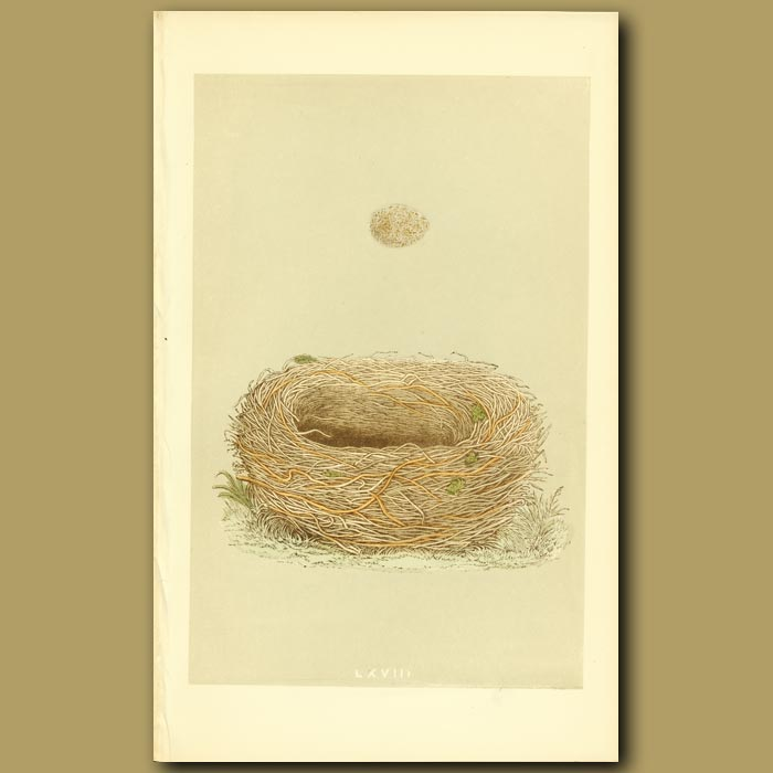 Antique print. Meadow Pipit Nest And Egg