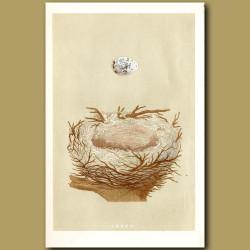 Hawfinch Nest
