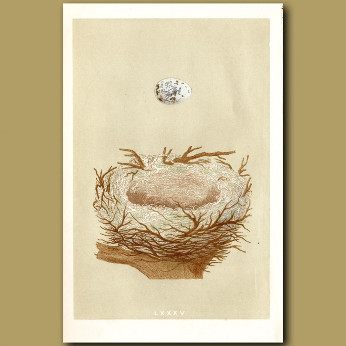 Hawfinch Nest: Genuine antique print for sale.