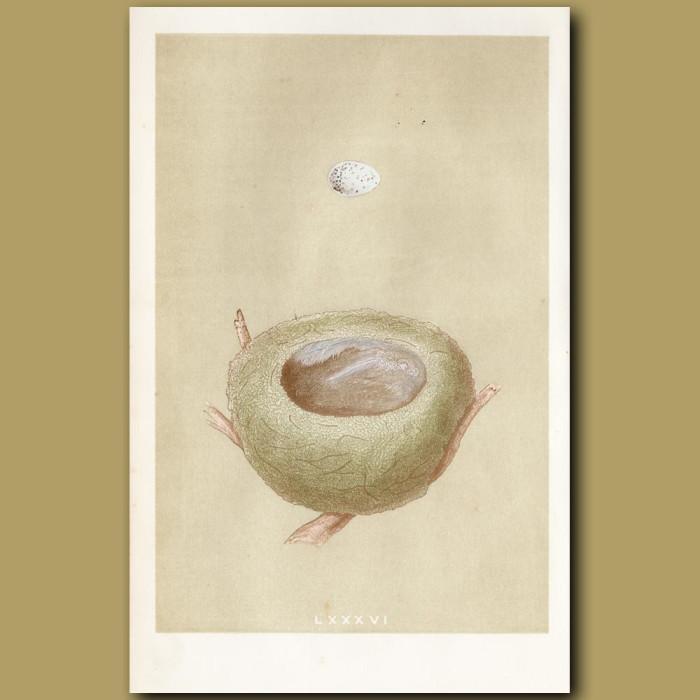 Goldfinch Nest: Genuine antique print for sale.