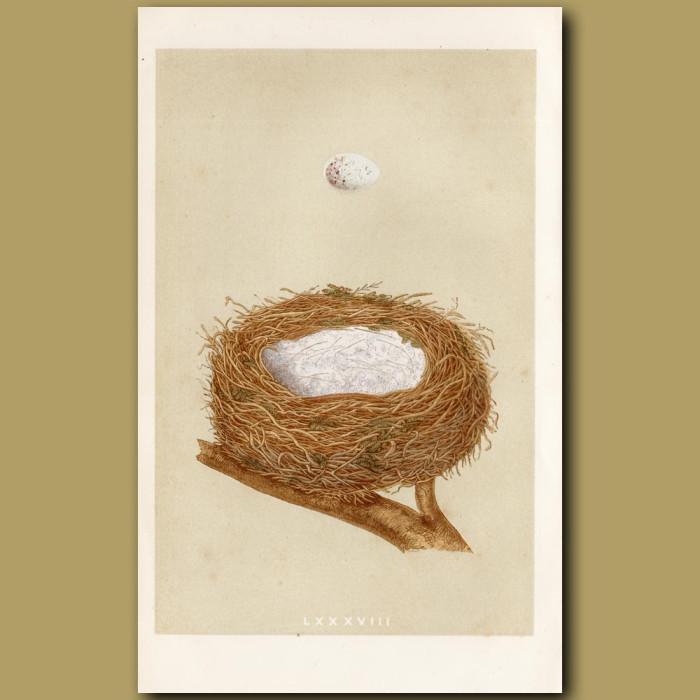 Linnet Nest: Genuine antique print for sale.