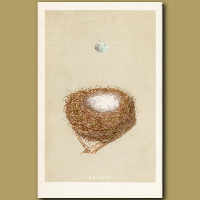 Redpole Nest: Genuine antique print for sale.