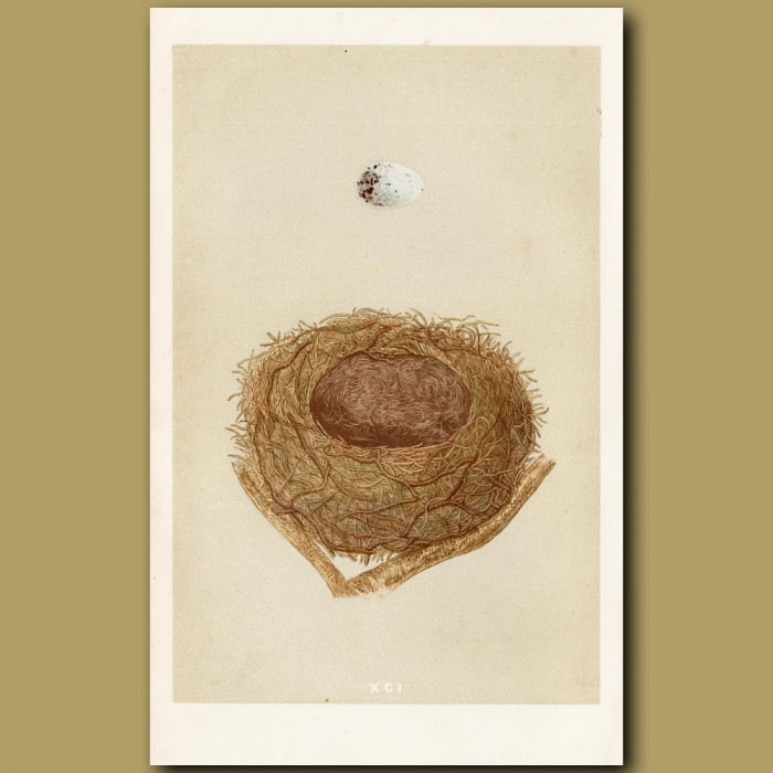 Bullfinch Nest: Genuine antique print for sale.
