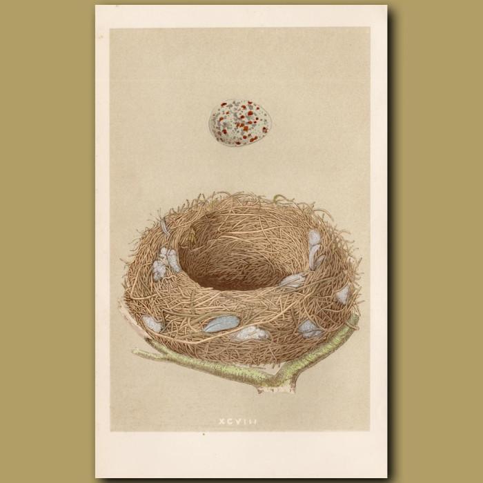 Missel Thrush Nest: Genuine antique print for sale.