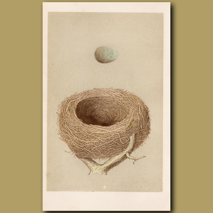 Redwing Nest: Genuine antique print for sale.