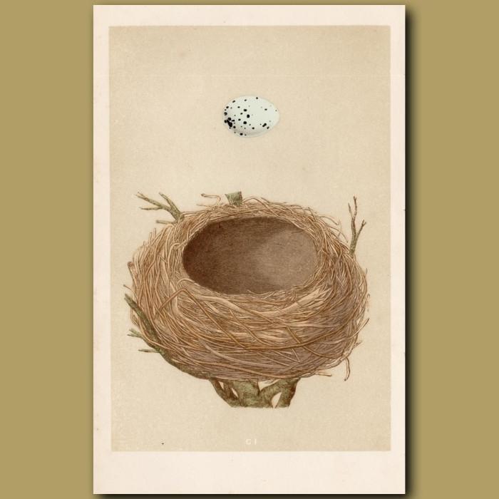 Thrush Nest: Genuine antique print for sale.