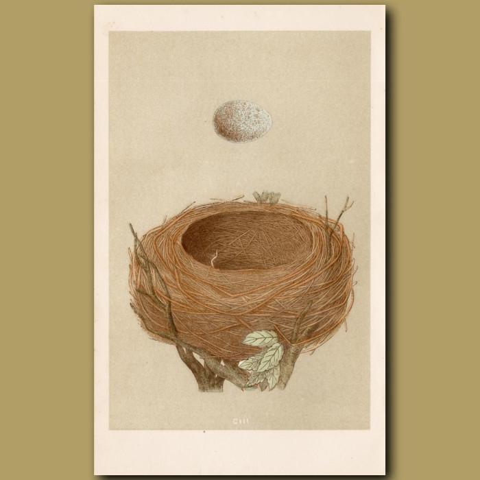 Blackbird Nest: Genuine antique print for sale.