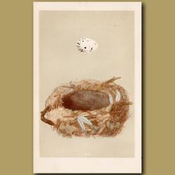 Golden Oriole Nest