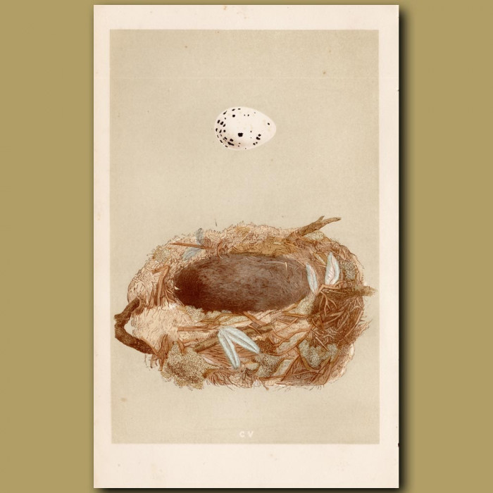 Golden Oriole Nest: Genuine antique print for sale.