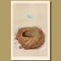 Alpine Accentor Nest
