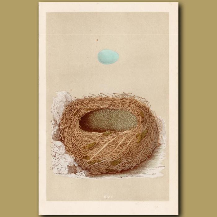 Alpine Accentor Nest: Genuine antique print for sale.