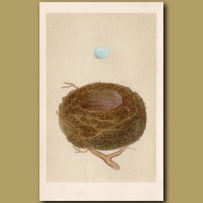 Dunnock Nest: Genuine antique print for sale.