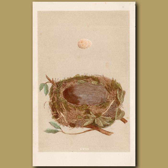 Redbreast Nest: Genuine antique print for sale.