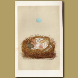 Redstart Nest