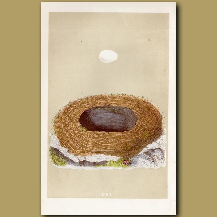 Blackstart Nest: Genuine antique print for sale.