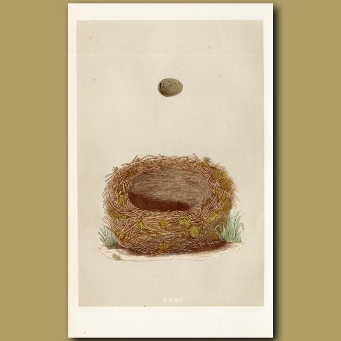 Sedge Warble Nest: Genuine antique print for sale.
