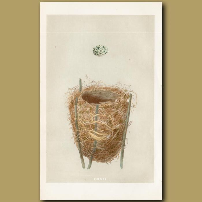 Reed Warbler Nest: Genuine antique print for sale.