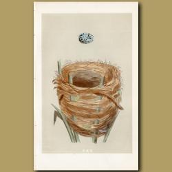 Great Sedge Warbler Nest
