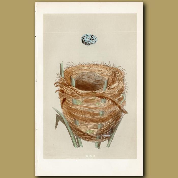 Great Sedge Warbler Nest: Genuine antique print for sale.