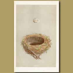 Blackcap Nest
