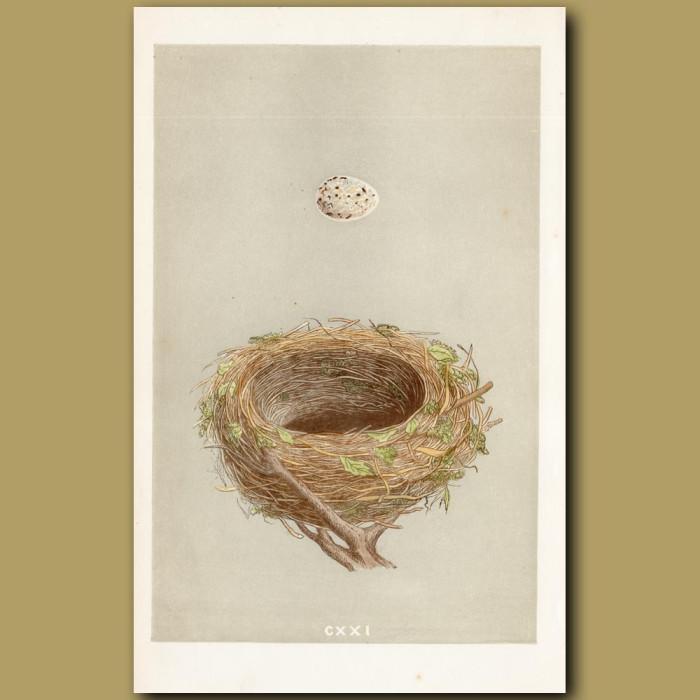 Blackcap Nest: Genuine antique print for sale.