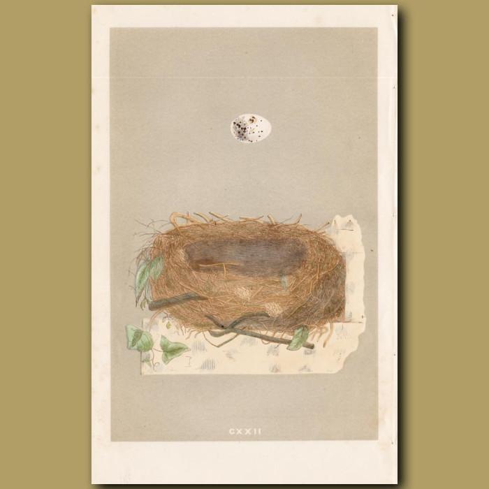 Orphean Warbler Nest: Genuine antique print for sale.