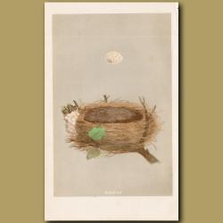 Garden Warbler Nest
