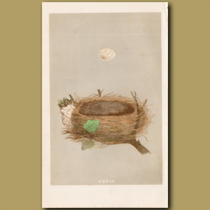 Garden Warbler Nest: Genuine antique print for sale.