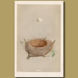 Lesser Whitethroat Nest