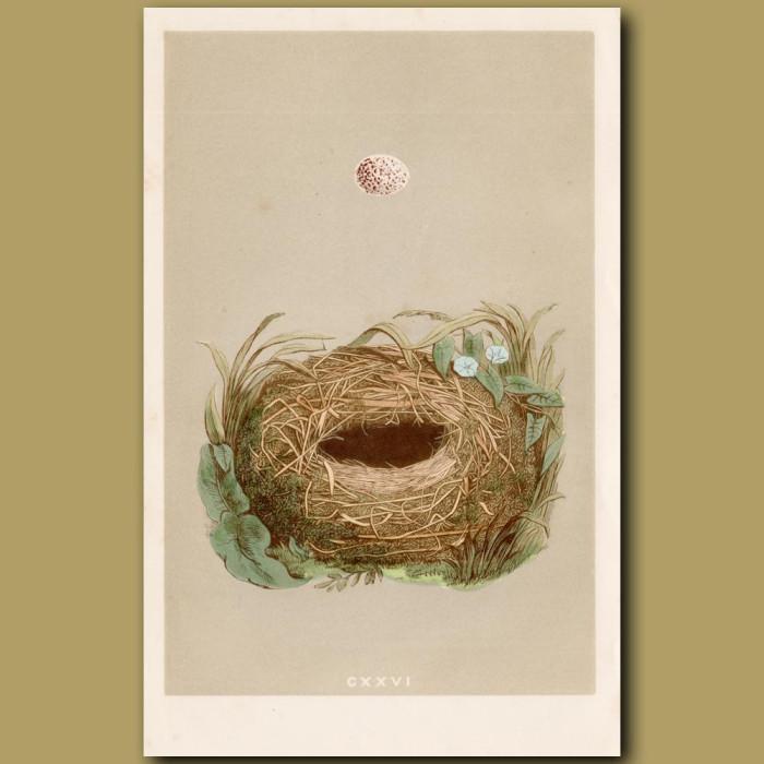 Wood Warbler Nest: Genuine antique print for sale.