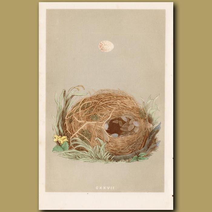 Willow Warbler Nest: Genuine antique print for sale.