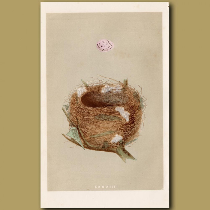 Melodious Willow Warbler Nest: Genuine antique print for sale.