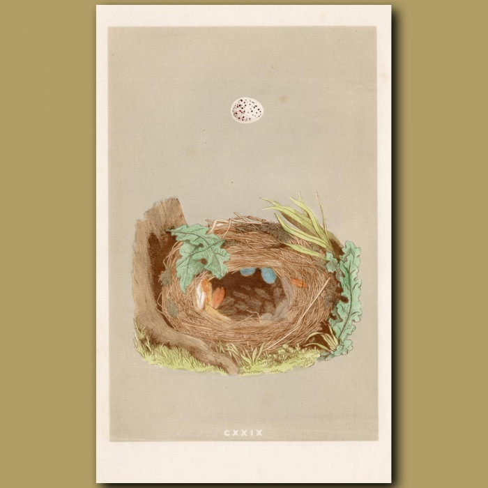 Chiff Chaff Nest: Genuine antique print for sale.