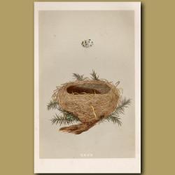 Dartford Warbler Nest