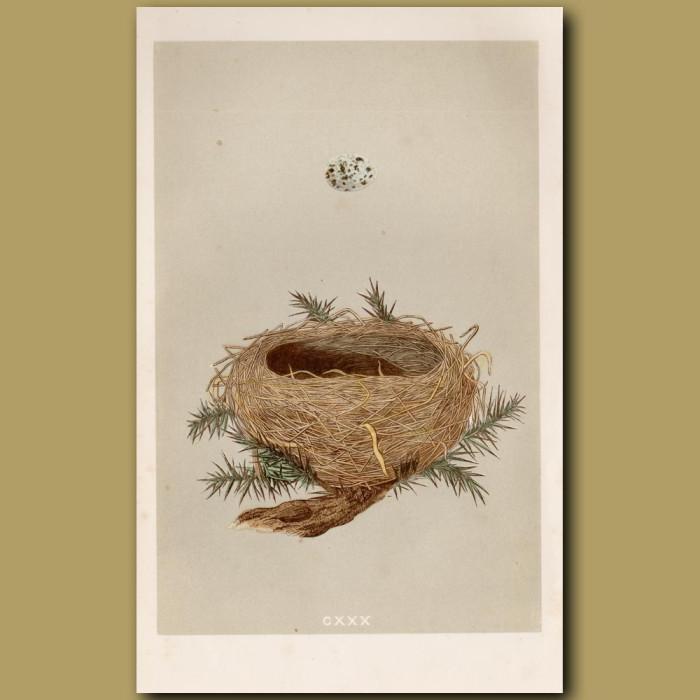 Dartford Warbler Nest: Genuine antique print for sale.