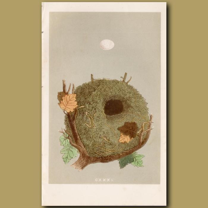 Wren Nest: Genuine antique print for sale.