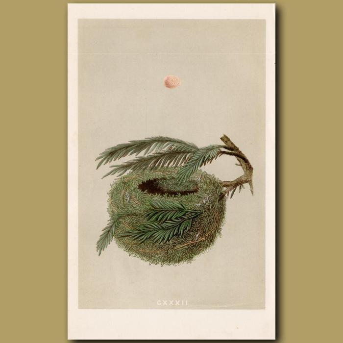 Goldcrest Nest: Genuine antique print for sale.