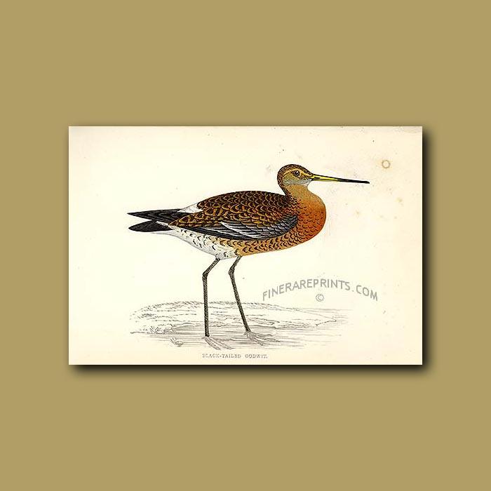 Black-tailed Godwit: Genuine antique print for sale.