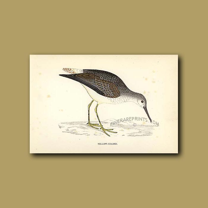 Yellow-shanks: Genuine antique print for sale.