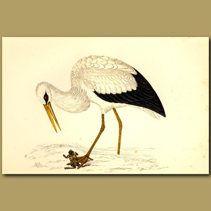 Antique print. White Stork