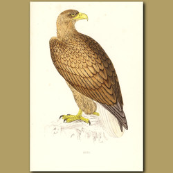 Erne Or White-Tailed Eagle