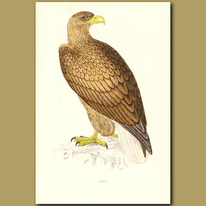 Antique print. Erne or White-tailed Eagle