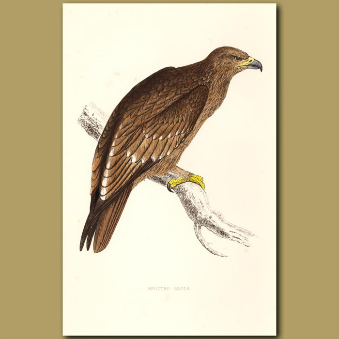Antique print. Spotted Eagle