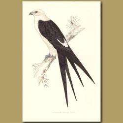 Swallow-tail Kite