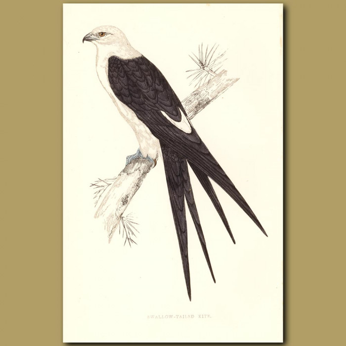 Swallow-tail Kite: Genuine antique print for sale.