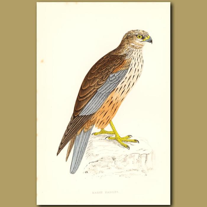 Antique print. Marsh Harrier