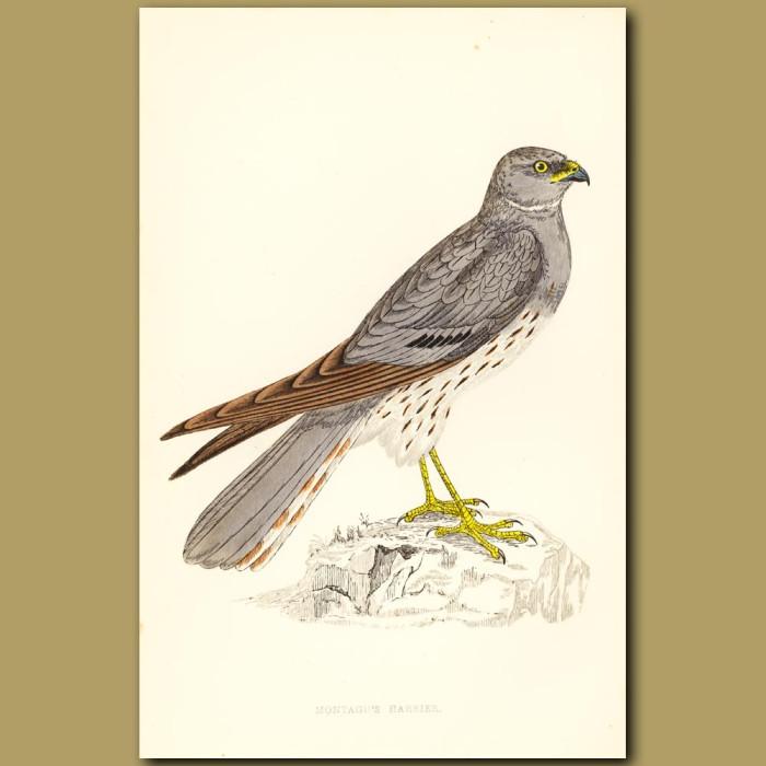 Antique print. Montague's Harrier